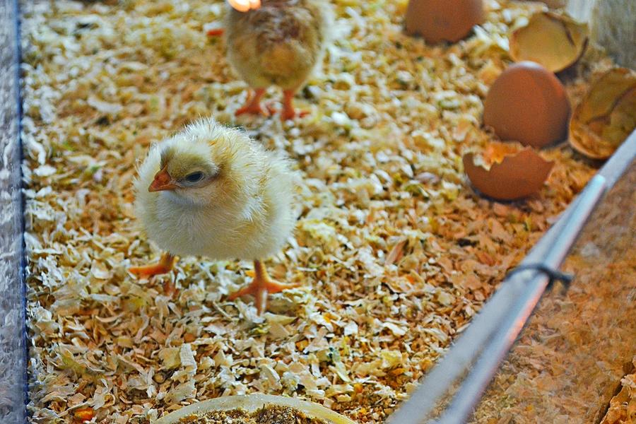 Только что вылупившийся цыпленок в музее науки
