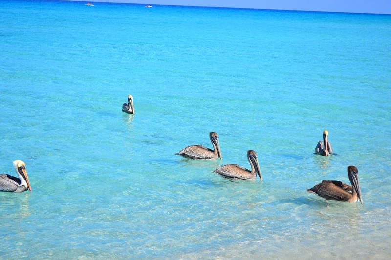Pelicans on the beaches of Varadero