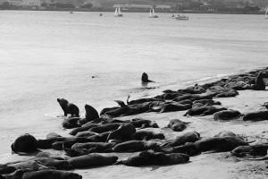 морские котики в Mar del Plata