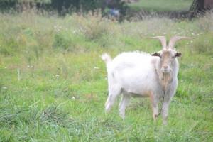 один из пасущихся козлов