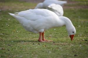 гуси в парке Плаза хуан