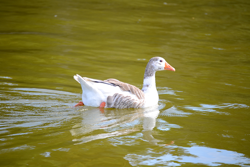 Goose in the pond