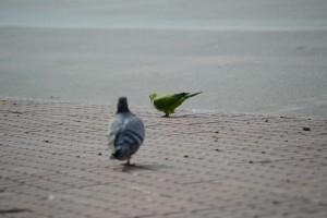 вольный попугай