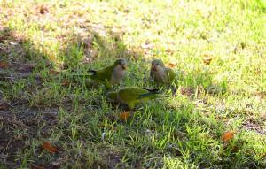 вольные попугаи в Буэнос Айресе