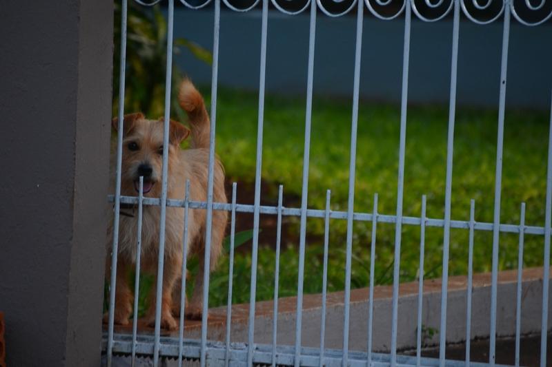 дружелюбная собака соседей