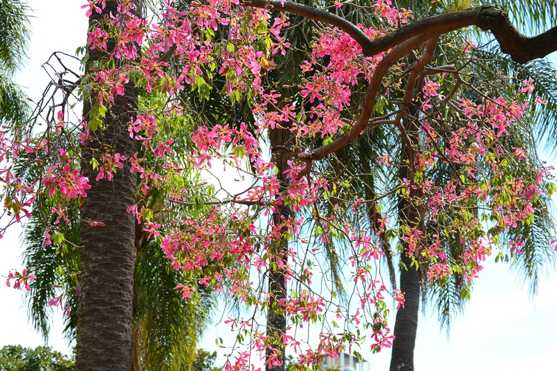 цветущие деревья в парке Жардин Ботанико
