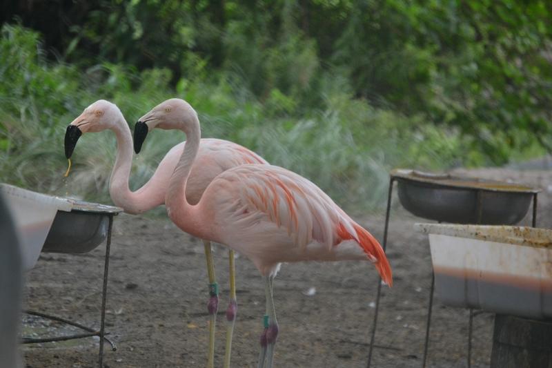Розовый фламинго в зоопарке Буэнос Айреса