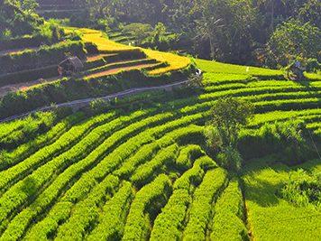 Bali - rice terrace