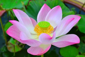 Lotus is the main flower in Thailand